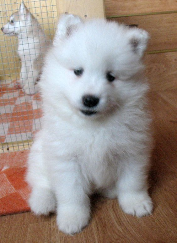 pomeranian samoyed mix siberian samoyed with siberian husky pup powiew p 243 łnocy 4112