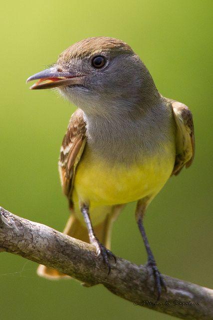 """El copetón viajero (Myiarchus crinitus) Anidan en una cavidad en un árbol. Generalmente, una piel de serpiente se incluye en el revestimiento del nido; algunas veces es reemplazado por un envoltorio plástico.  Se trepan a una rama elevada y salen volando para atrapar insectos voladores, algunas veces revolotean para buscar alimentos de la vegetación. Se alimentan de frutas y bayas. El sonido de estas aves es un silbido """"wiip""""."""
