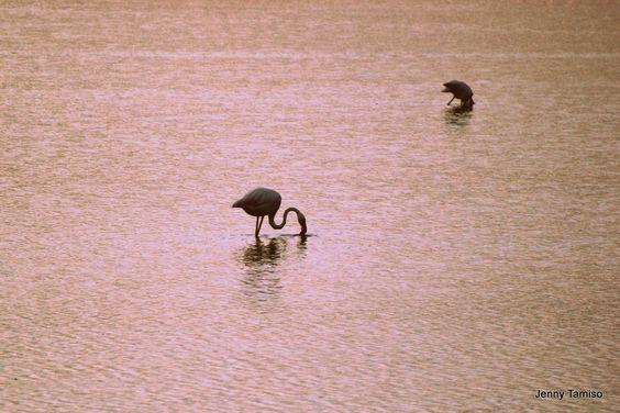 Flamingos Delta del Po Italy