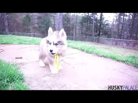 Husky Palace Has Siberian Husky Puppies For Sale In Anderson Sc