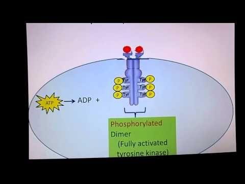 Receptor Tyrosine Kinase - YouTube