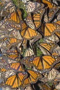 Monarch pattern