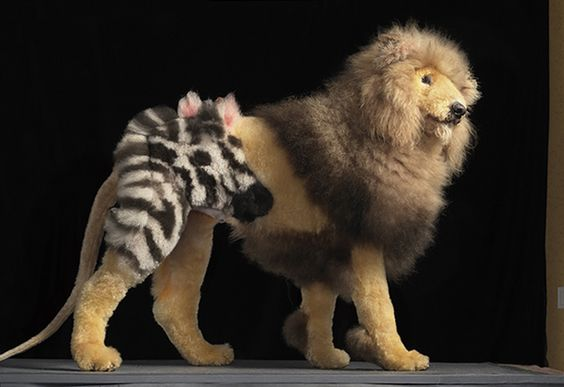 A Standard Poodle Groomed To Look Like A Lion With A Zebra