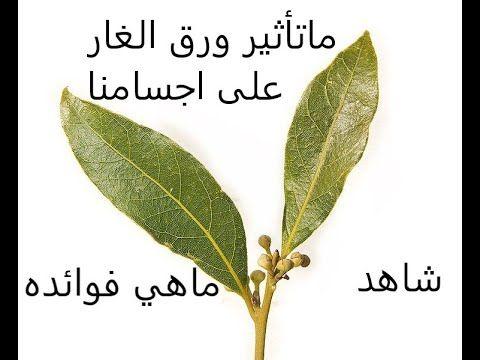 تعرف على فوائد ورق الغار Plant Leaves Plants