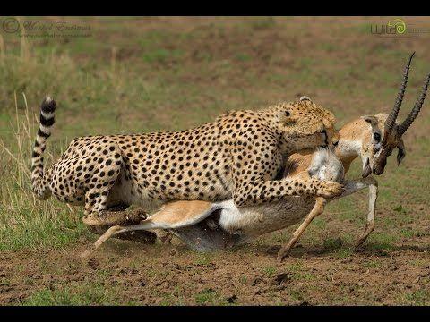 Cheetah Attack Gazelle   i Predator Cheetah Vs Gazelle ...