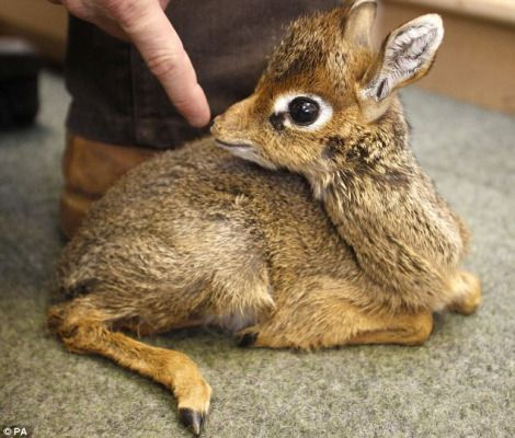 tiny Kirk's Dik-Dik is being hand raised by keepers at England's Chester Zoo.