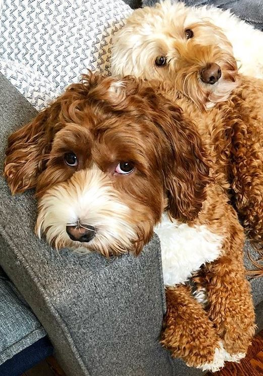 Australian Labradoodle In 2020 Cute Dog Collars Cute Animals Dog Friends