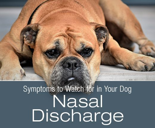 Symptoms To Watch For In Your Dog Nasal Discharge Dog Health