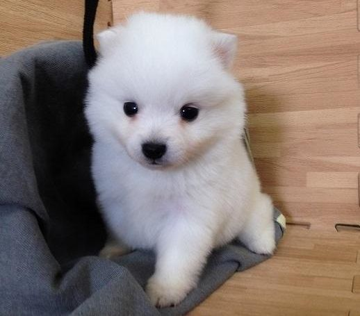Japanese Spitz Puppy For Sale In Los Angeles Ca Adn 70969 On