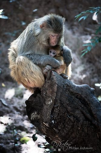 Macaque and baby in Lushan mountain - Xichang - Sichuan - China II