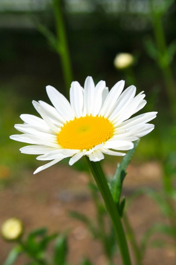 How To Grow Shasta Daisies - A Healthy Life For Me
