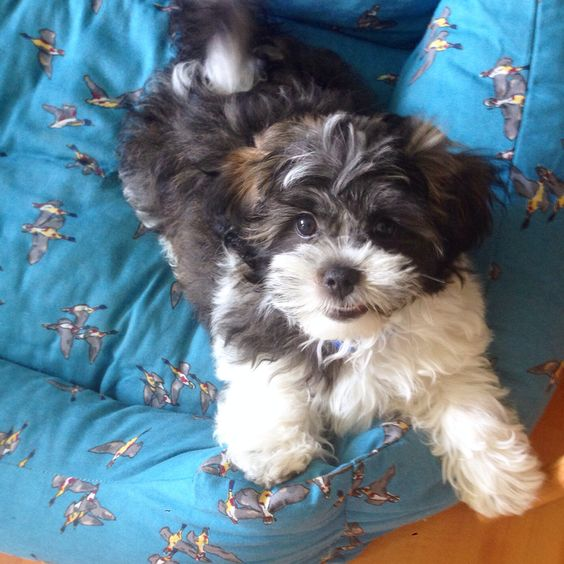 Lovely little Arne #shichon #puppy
