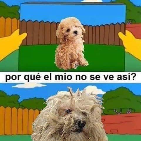 Por Que Mi Perro No Puede Ser Bonito Caniche Toy Perros Caniche