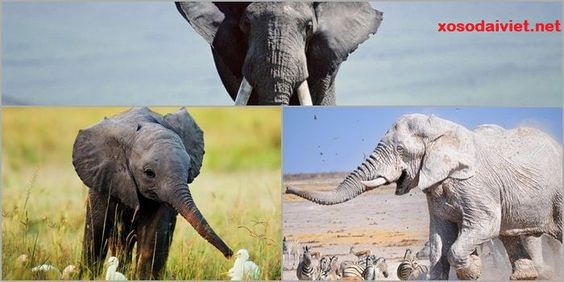 mơ thấy voi