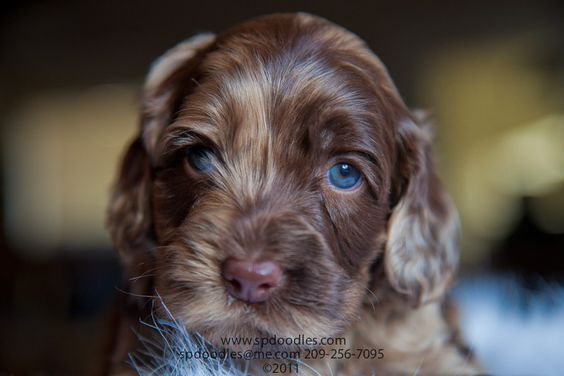 Blue Eyed, Chocolate Merle, MultiGeneration Australian