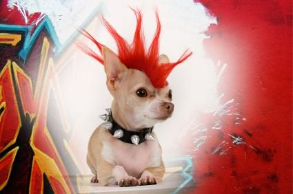 This chihuahua embraces the punk trend.