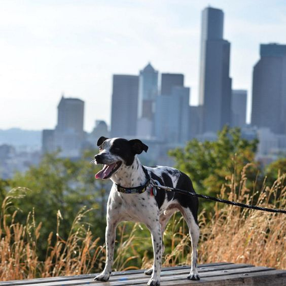 Day out at Dr. Jose Rizal Dog Park - Seattle, WA - Angus Off-Leash #dogs #puppies #cutedogs #dogparks #seattle #washington #angusoffleash: