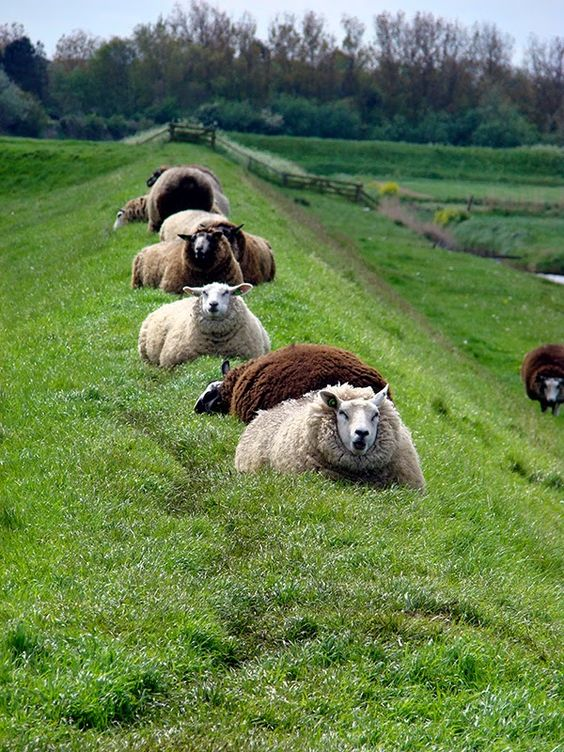Sheep in Texel, Netherlands