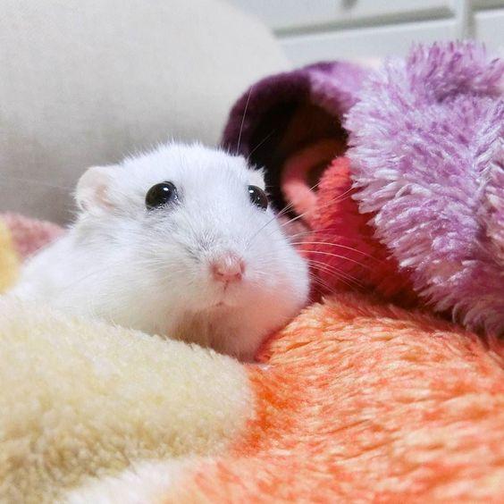 綺麗なうー吉さん うっとりなママ  #ジャンガリアンハムスター#ジャンガリアン#ハムスター#パール#パールホワイト#可愛い#もふもふ #うー吉#家族#cute#family#Djungarianhamster#hamster#animal#pet#ペット #ふわもこ部#hamstergram#hammy#love#animal#dwarfhamster#happy_pets#hammy#kaumo by ushikichi