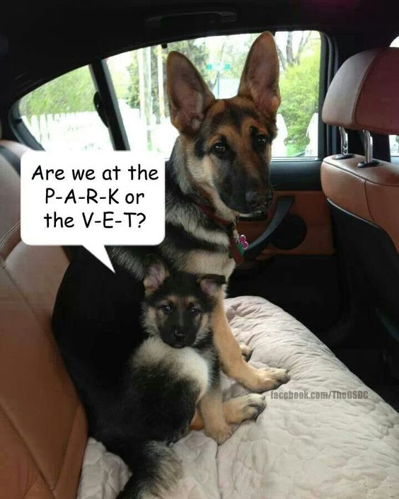 German sheperds being tricked to go to the vet maybe the park is after www.capemaydogs.com