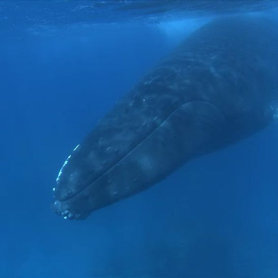 NOAA cetacean expert Dr. Phil Clapham discusses some details of the humpback wha...