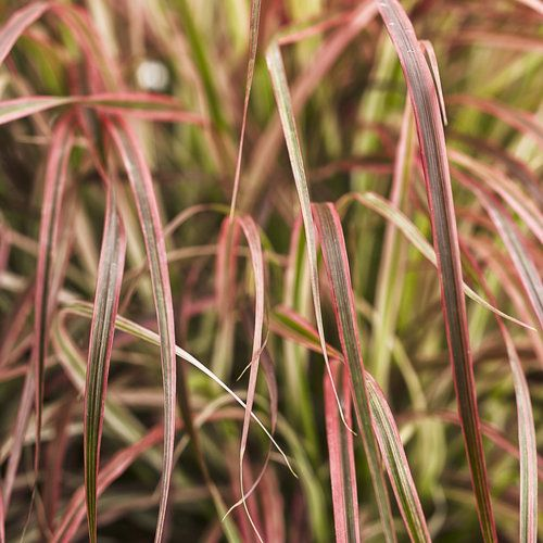 Graceful grasses 39 fireworks 39 variegated red fountain for Fountain grass varieties