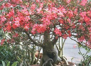 bynina: Rosa do Deserto (Adenium obesum)