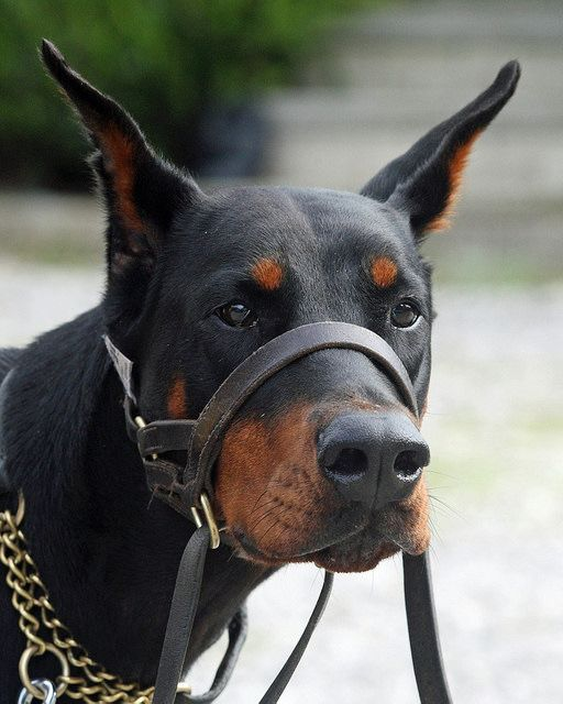 Is Your Dobermann Pinscher Driving You Crazy Within Hours Stop
