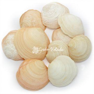 Conchas Naturales a granel, Tellina Orange.