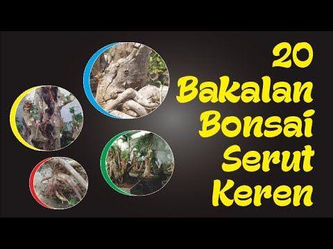 20 Bakalan Bonsai Serut Keren Di 2020 Bonsai Tanaman