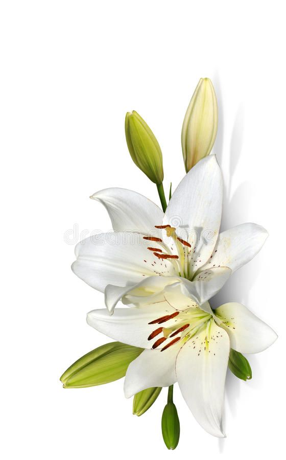 Easter Lily Flowers On White Background Freshly Bloomed White Easter Lilies And Aff Flowers White Easter Easter Lily Lily Flower Flower Backgrounds