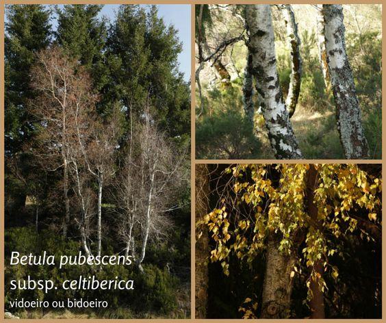 ECOjardim: Semana Internacional das Florestas - Betula pubescens subsp. celtiberica