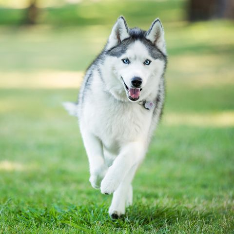 40 Best Medium Sized Dogs Dog Breeds Siberian Husky Dog Wolf