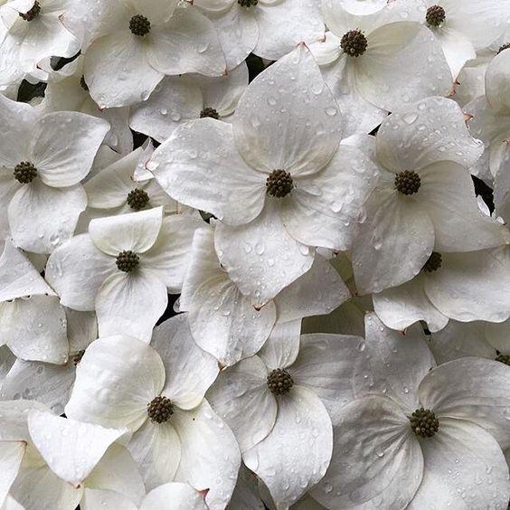 A beautiful shot of the blooms of Cornus kousa in the North Garden by @flowergyrl. #ubcgarden #flowerstagram #treelove #beautifulbc 📷: @flowergyrl