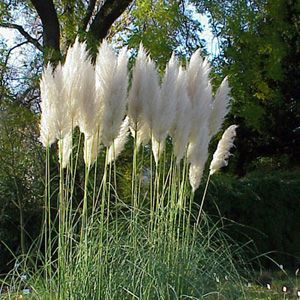 Ornamental grass pampas grass gardening pinterest for Ornamental grasses with plumes