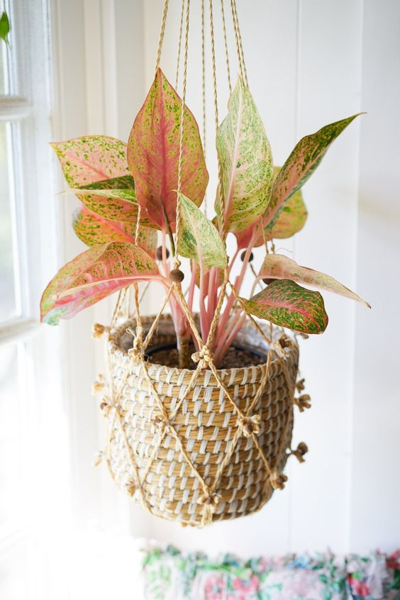 Aglaonema Creta - Favorite Pink Houseplants - Dalla Vita