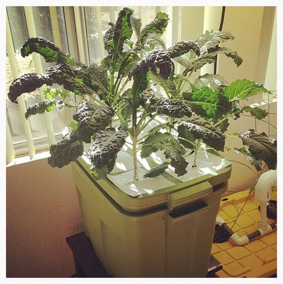 DIY Aeroponics 6-Plant Tub with Built-in Reservoir... With this aeroponics tub I can grow 6 kale or swiss chard plants in a really small space without having to water them daily. It takes no soil either.