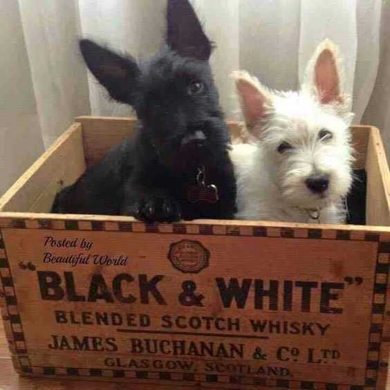 Baby Scottie and baby Westie in a Black & White Scotch Whisky crate.❤❤❤