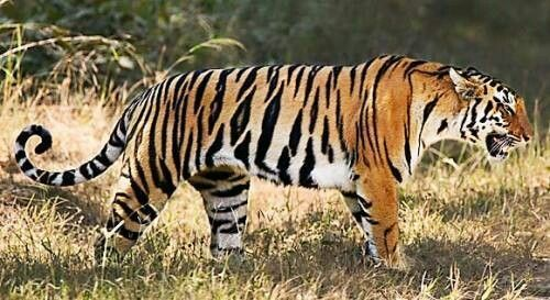 Pin By Wildlife Hd Online On Tigers Tiger Facts For Kids Tiger Population Bengal Tiger Facts