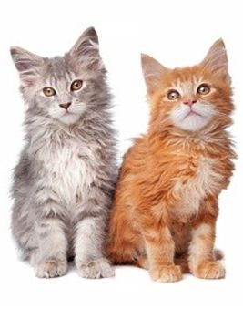 Maine Coon Cat--I swear out Binks is a Main Coon!  Looks just like the grey one.. but significantly larger!