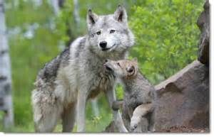Baby Wolves - Bing images
