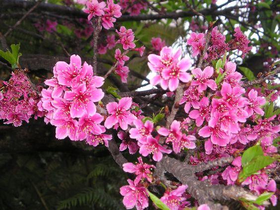 Flor da Cerejeira (Sakura). Photo by Cida Valverde