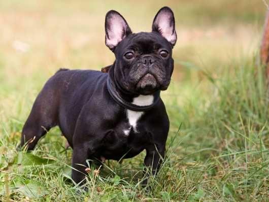 Last Puppy Blue Tan Lilac Producer French Bulldog Breed French
