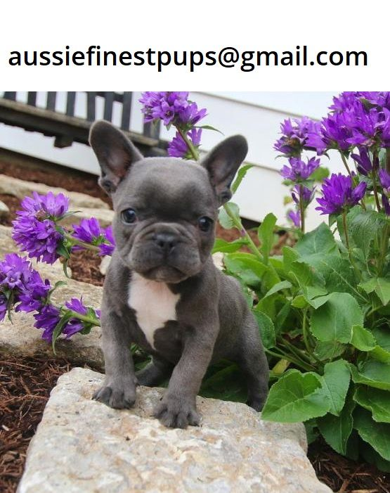Pin On French Bulldog Puppies For Sale In Australia