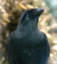 The alala, or Hawaiian crow, is a critically endangered species that is extinct in the wild. (Photo courtesy of Jay Robinso
