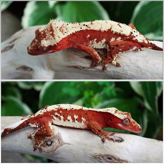 submisc-10sep-redhotcrestedgecko-The-Harlequin-Hoard-lg