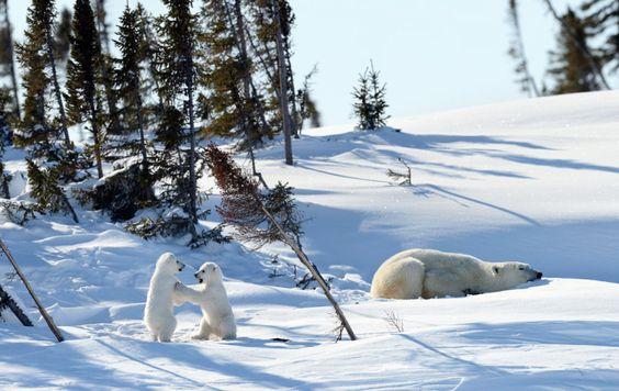 nieve osos
