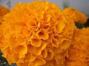 CEMPAZÚCHITL o flor de muerto
