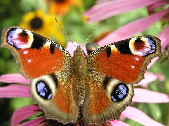 Mariposa Pavo Real  http://www.labioguia.com/notas/15-mariposas-unicas-y-hermosas