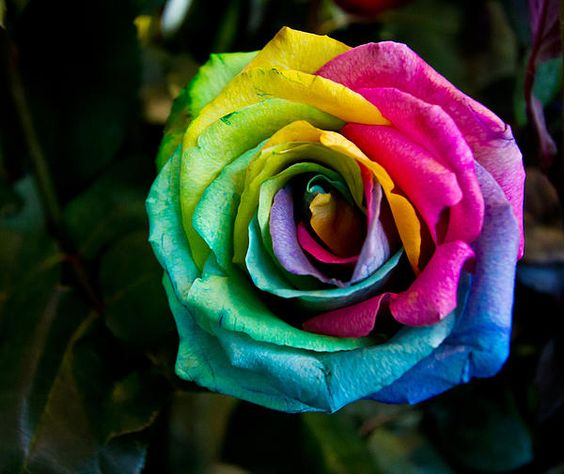 Rainbow rose the rainbow rose has artificially colored for Rainbow colored rose